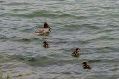 Rewolucjonistki nurogęś z kaczątkami Zdjęcie Royalty Free