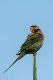 Rewolucjonistki parakeet obraz royalty free