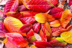 Rewolucjonistki, pomarańcze i koloru żółtego jesieni liści tło, Zdjęcie Stock