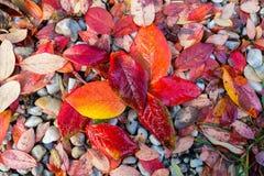 Rewolucjonistki, pomarańcze i koloru żółtego jesieni liści tło, Obrazy Stock