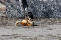 Rewolucjonistki psi kiwanie na ziemi z jego z powrotem Zdjęcia Stock