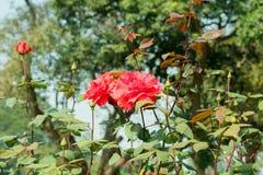 Rewolucjonistki róża - Genus Rosa rodziny Rosaceae Krzaki z trzonu ostrza prickles Ja jest słońce rośliny kochającymi kwiatami w  obrazy stock