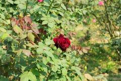 Rewolucjonistki róża - genus Rosa Rosaceae rodzinni krzaki z ostrymi prickles Słońce kochająca roślina Kwitnie w wiosny lata sezo obraz royalty free