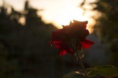 Rewolucjonistki róża iluminująca słońcem obraz royalty free
