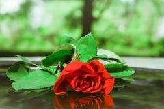 Rewolucjonistki róża jako naturalny i wakacje tło Obrazy Stock