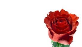 Rewolucjonistki róża jeden jest strzelająca odosobniona obraz stock