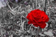 Rewolucjonistki róża na czarny i biały tle Zdjęcie Stock