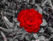 Rewolucjonistki róża na czarny i biały tle Fotografia Stock