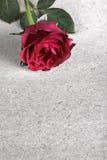 Rewolucjonistki róża na Starym papierze zdjęcia stock