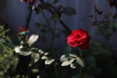 Rewolucjonistki róża na zmroku - szary tło, zaświecający promieniem światło ilustracji