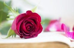 Rewolucjonistki róża - romans, miłości pojęcie dla walentynki ` s dnia Obrazy Royalty Free