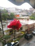 Rewolucjonistki róża właśnie poped w górę formy drzewa zdjęcie stock