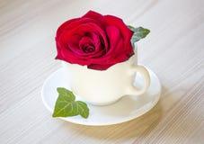 Rewolucjonistki róża w białej filiżance Zdjęcie Stock