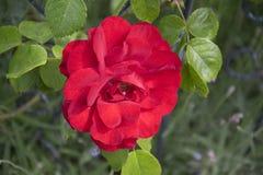 Rewolucjonistki róża wewnątrz rosengarden obraz stock
