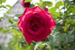 Rewolucjonistki róża wewnątrz rosengarden fotografia stock