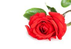 Rewolucjonistki róża z liśćmi na białym tle z przestrzenią dla teksta, walentynki i miłości pojęcia, Fotografia Royalty Free