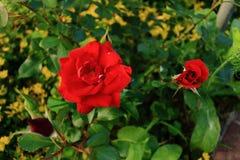 Rewolucjonistki róża z pączkiem Zdjęcie Royalty Free
