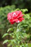 Rewolucjonistki róża z rosa kroplami na płatkach zdjęcie royalty free