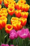 Rewolucjonistki różowa żółta tulipanowa ekspozycja Zdjęcie Stock