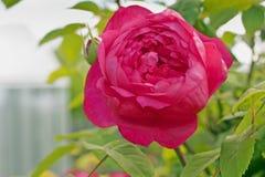 Rewolucjonistki róży ` Benjamin Britten ` pepiniera David Austin, Anglia Zakończenie zdjęcie stock