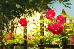 Rewolucjonistki róży drzewny kwitnienie na starym ośniedziałym ogrodzeniu fotografia stock