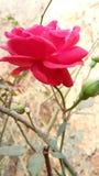 Rewolucjonistki róży kwiatów piękny golap fotografia stock