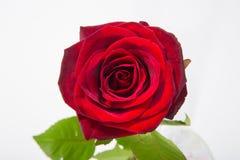 Rewolucjonistki róży kwiatu różyczka z liśćmi odizolowywającymi na bielu Odgórny widok obrazy royalty free
