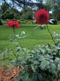 Rewolucjonistki róży okwitnięcia Zdjęcia Stock