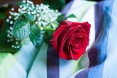 Rewolucjonistki róży okwitnięcie z zakończeniem na płatkach, kłaść na pasiastej poduszce Zdjęcie Royalty Free