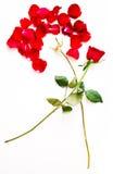 Rewolucjonistki róży płatki Zdjęcia Stock