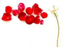 Rewolucjonistki róży płatki Zdjęcie Royalty Free