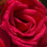 Rewolucjonistki róży wody kapinosa zbliżenie Zdjęcia Stock