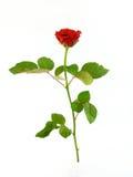 Rewolucjonistki róża Zdjęcia Stock
