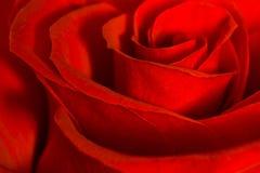 Rewolucjonistki róża fotografia stock
