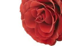 Rewolucjonistki róża Obraz Royalty Free