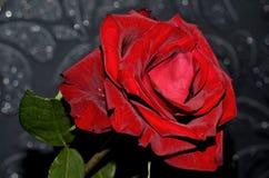 Rewolucjonistki róża na szarym tle Zdjęcie Royalty Free
