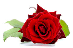 Rewolucjonistki róża Zdjęcie Stock