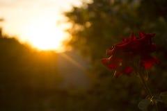 Rewolucjonistki róża spotyka zmierzch zdjęcia royalty free