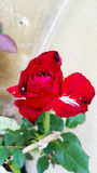 Rewolucjonistki róża w ogródzie Fotografia Royalty Free