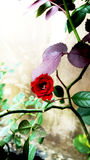 Rewolucjonistki róża w ogródzie Obrazy Royalty Free