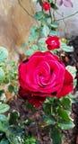 Rewolucjonistki róża w ogródzie Zdjęcie Royalty Free