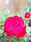 Rewolucjonistki róża w ogródzie Zdjęcie Stock