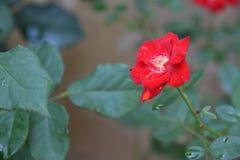 Rewolucjonistki róża w ogródzie Zdjęcia Stock