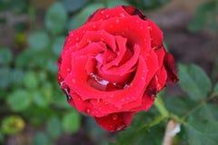 Rewolucjonistki róża w ogródzie Fotografia Stock