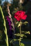 Rewolucjonistki róża w zielonym ogródzie Zdjęcia Stock