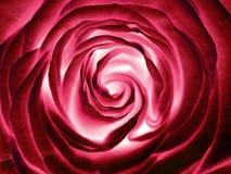 Rewolucjonistki róży kwiat, zamyka up Zdjęcie Royalty Free