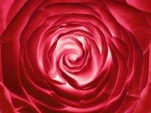 Rewolucjonistki róży kwiat, zamyka up Fotografia Royalty Free