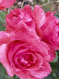Rewolucjonistki róża z podeszczowymi kroplami Zdjęcia Royalty Free