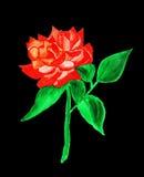 Rewolucjonistki róża, maluje Obraz Royalty Free
