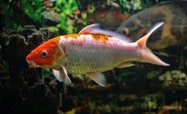 Rewolucjonistki ryba Obrazy Stock
